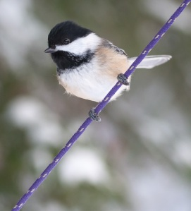 chickadee-purple-rope